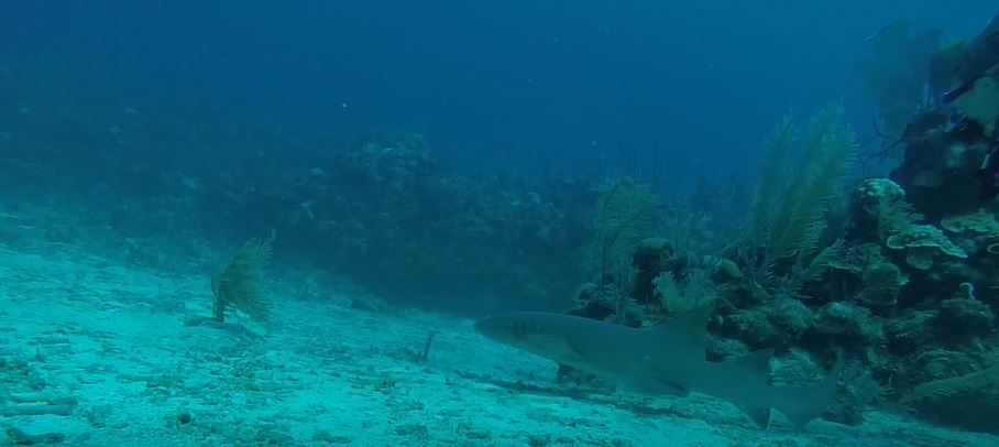 nurse-shark-swimming