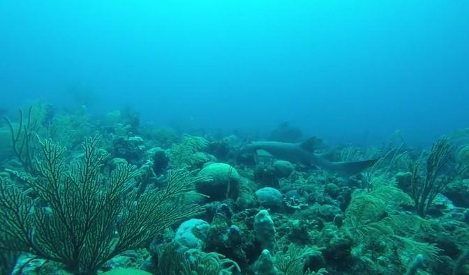 shark-coral